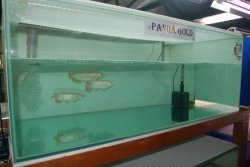 panda gold 1.JPG