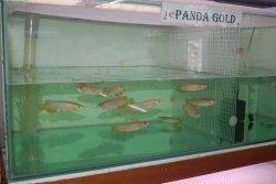 panda gold 5.JPG