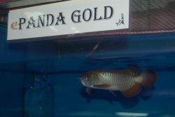 panda gold 8.JPG