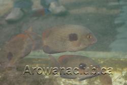 max koi rare fish 1.png