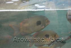 max koi rare fish 2.png