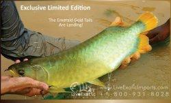 LEI-LiveExoticImports-EmeraldGoldTail-AsianArowana-Dragonfish-1.jpg