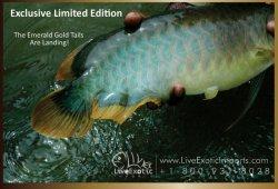 LEI-LiveExoticImports-EmeraldGoldTail-AsianArowana-Dragonfish-2.jpg