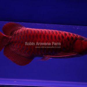 Robin Arowana Farm [18]
