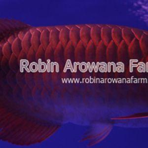Robin Arowana Farm [20]