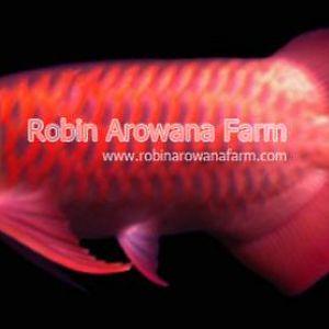Robin Arowana Farm [21]