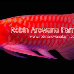 Robin Arowana Farm [22]